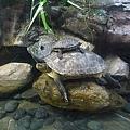 小烏龜騎大烏龜