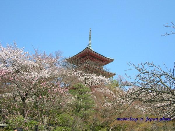 櫻花綻滿三重塔