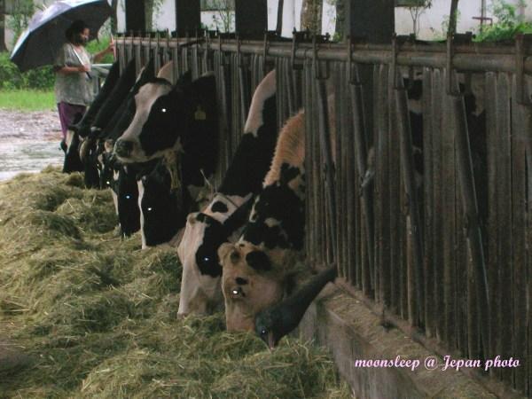 哥倆好,鴕鳥與乳牛一起用餐