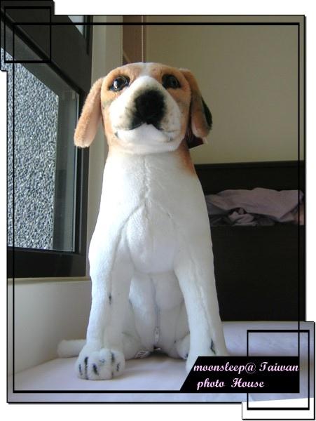 雄糾糾的布偶狗(米格魯)