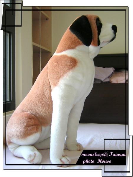 雄糾糾的布偶狗(聖伯納)