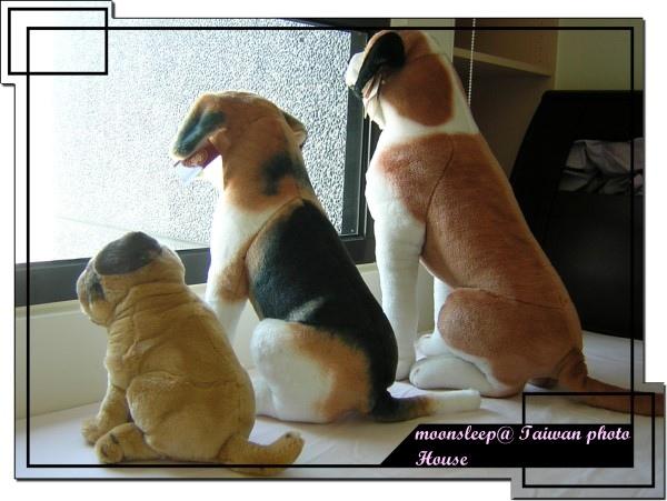 裝憂鬱望著窗外的布偶狗狗們背影