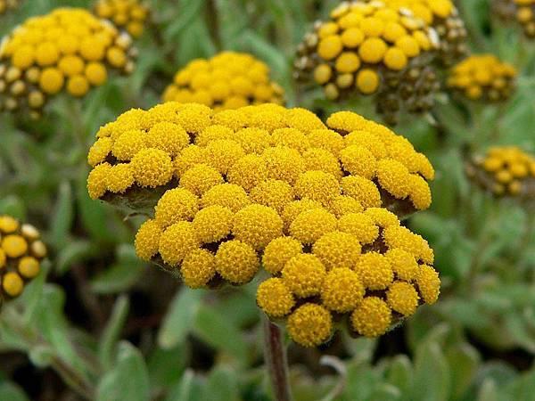 800px-Helichrysum_basalticum_2.jpg