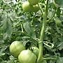 0711台灣植物工廠產業協會---金勇DIY蕃茄農場參訪&研討會 020