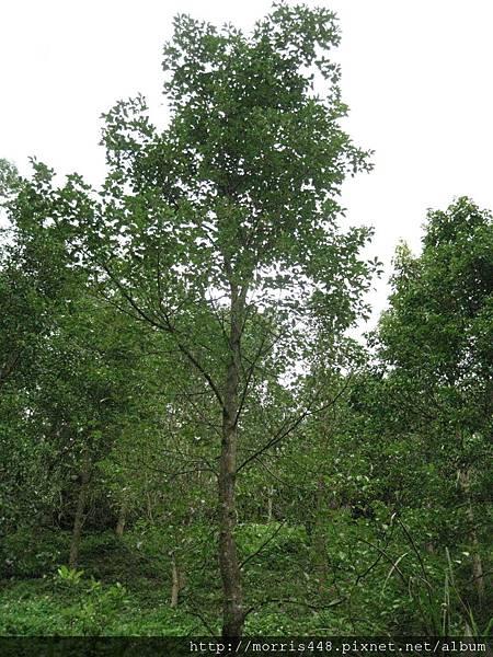 牛樟造林8年林 001