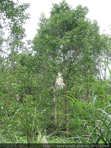 牛樟造林8年林 002