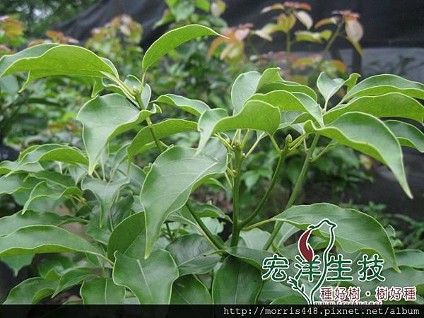 綠芽牛樟枝條logo (4)