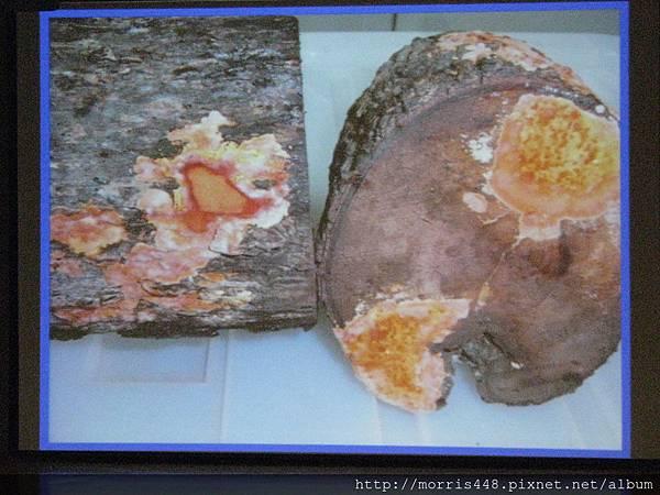 2013工研院牛樟研習第七期 張博 牛樟幼齡木植菌