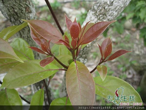 2013牛樟樹 ( Cinnamomum kanehirai Hay ) 各品系 新芽 001logo