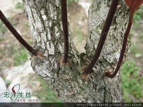 2013牛樟( Cinnamomum kanehirai Hay ) 老幹新芽 (8)logo