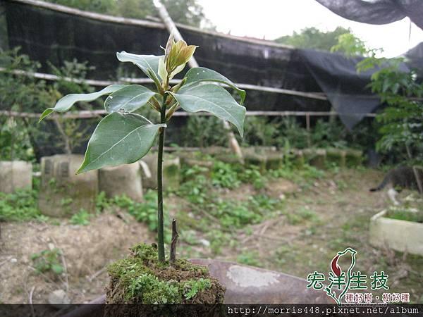 2013牛樟( Cinnamomum kanehirai Hay ) 扦插苗 (19) logo