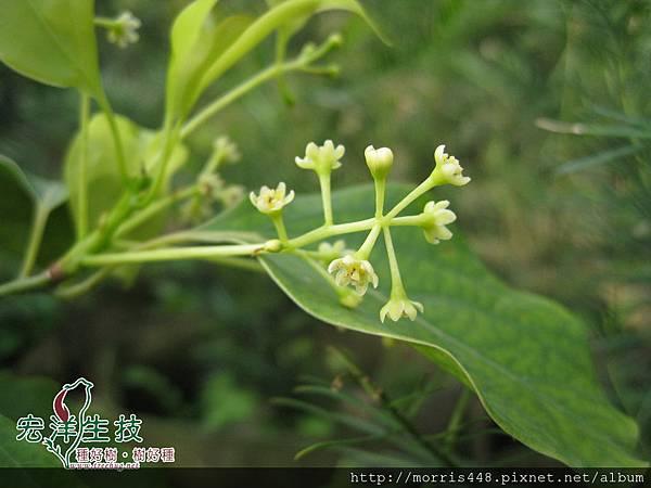 2013牛樟( Cinnamomum kanehirai Hay ) 花 (14) logo