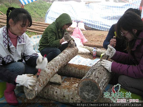 尖石楓樹椴木香菇植菌之旅 002