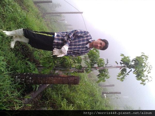 地植18個月的牛樟樹扦插苗
