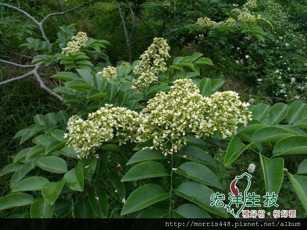 海南花犁木(降香黃檀)