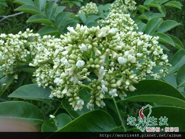 海南黃花梨開花1