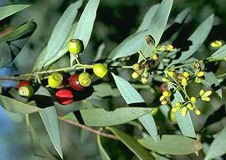 santalum-lanceolatum.jpg