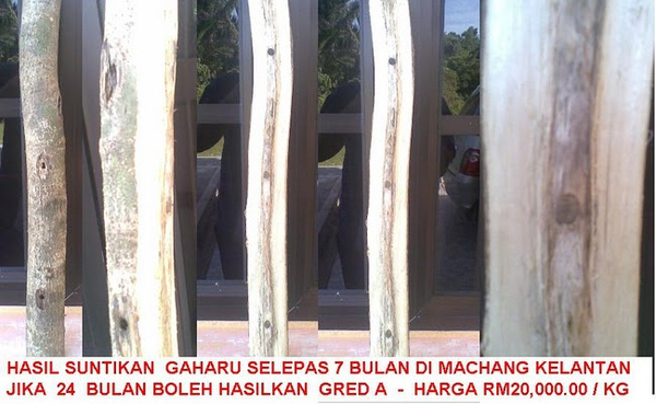 GAHARU_MACHANG.JPG