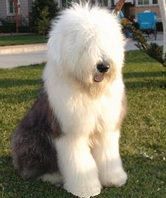 英國古代牧羊犬
