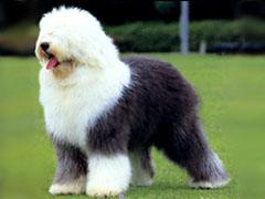 古代牧羊犬