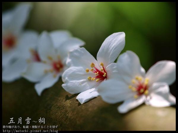 桐花1.jpg