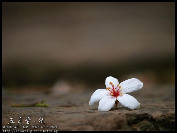 桐花10.jpg