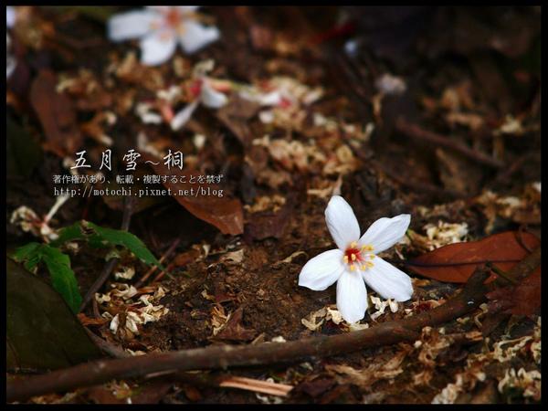 桐花11.jpg