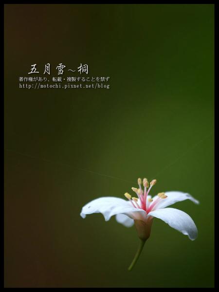 桐花20.jpg