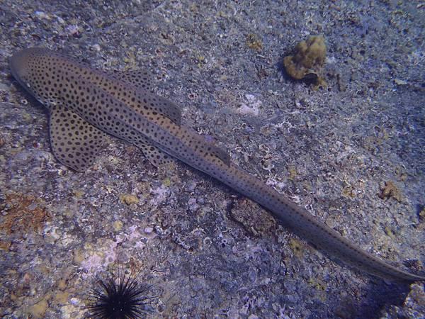 這條豹鯊約兩米長,泳姿很優雅