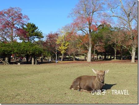 奈良自由行_奈良一日遊行程_鹿2