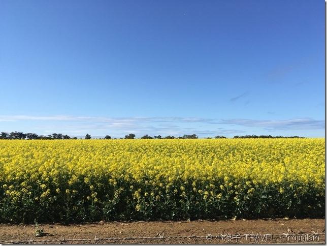 墨爾本附近的油菜花田