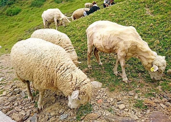 清境農場的綿羊到處走