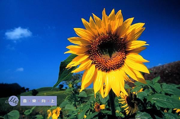 656-17向日葵.jpg