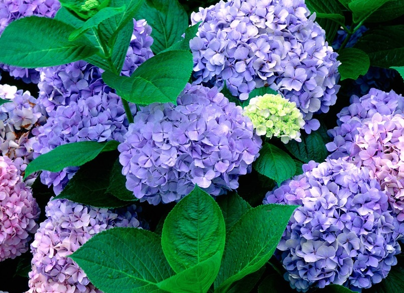 [wall001.com]_Hydrangea_wallpaper_0162973