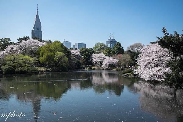 東京賞櫻 親子 自由行 新宿御苑