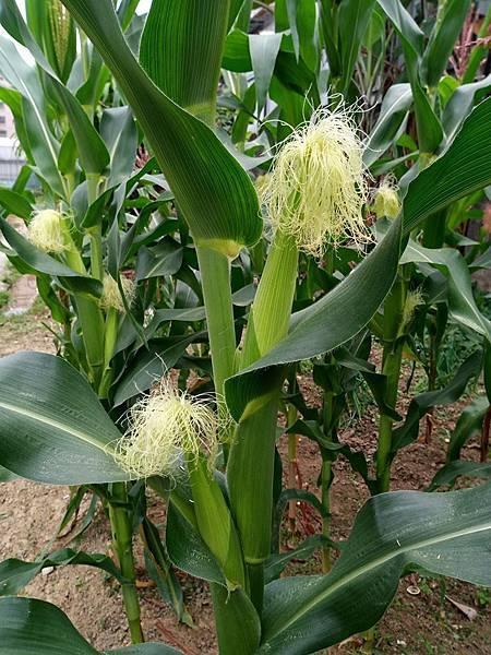 玉米雌花.jpg
