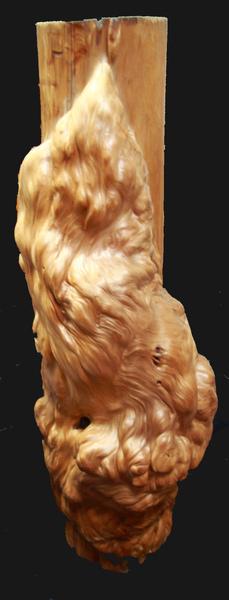 台灣奇木-樹瘤