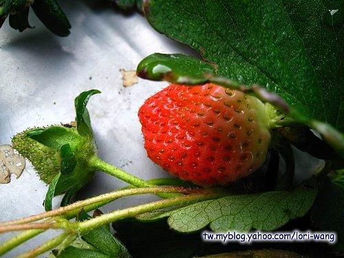 最高海拔的草莓園 ~ 雪霸草莓08.jpg