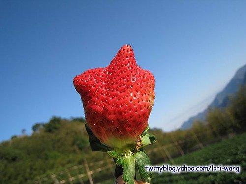 最高海拔的草莓園 ~ 雪霸草莓01.jpg