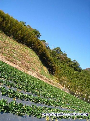 最高海拔的草莓園 ~ 雪霸草莓02.jpg