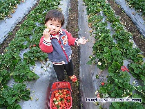最高海拔的草莓園 ~ 雪霸草莓03.jpg