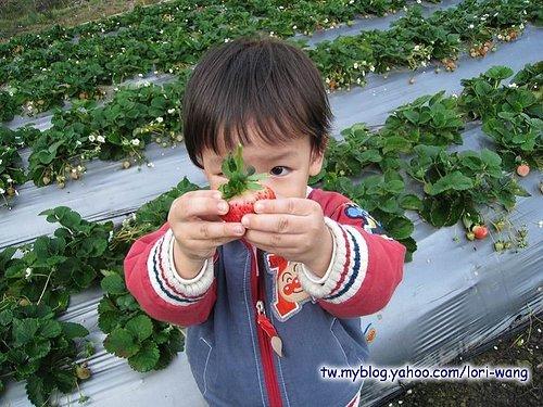 最高海拔的草莓園 ~ 雪霸草莓04.jpg
