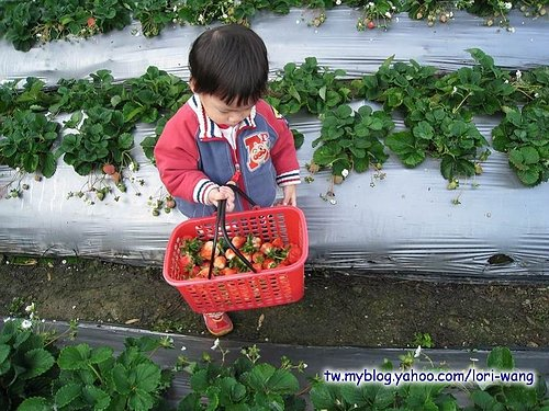 最高海拔的草莓園 ~ 雪霸草莓05.jpg