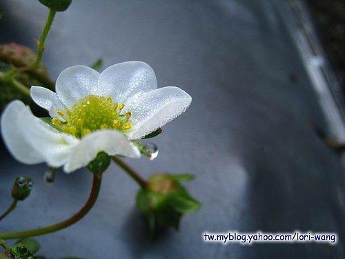 最高海拔的草莓園 ~ 雪霸草莓06.jpg