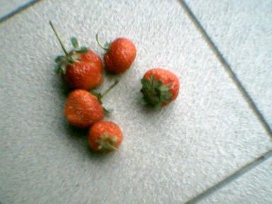 Todd@數位相機生活日記~開心農場.偶種的草莓~01