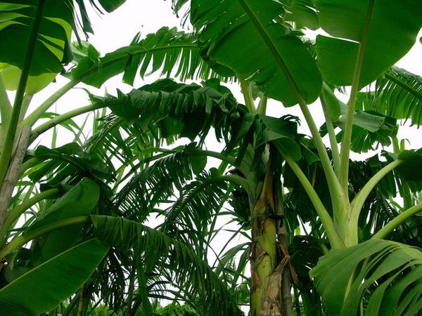 菜園裡的香蕉樹