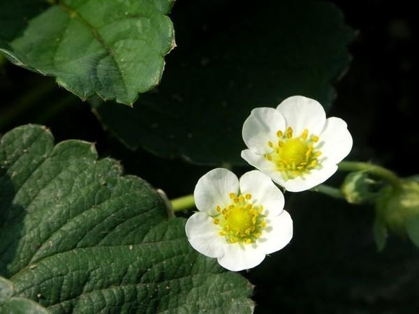 草莓可愛的小白花