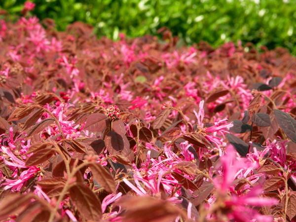 粉紅長長花瓣花