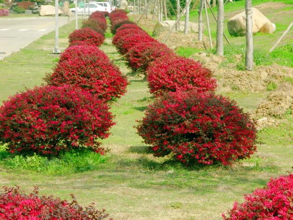紅色長長花瓣花