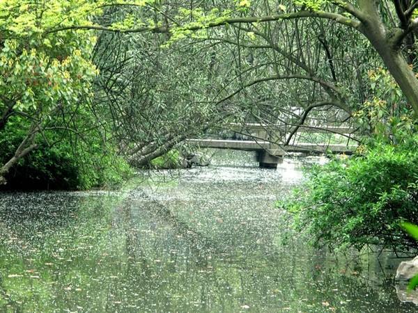 池塘上飄著滿滿的柳絮